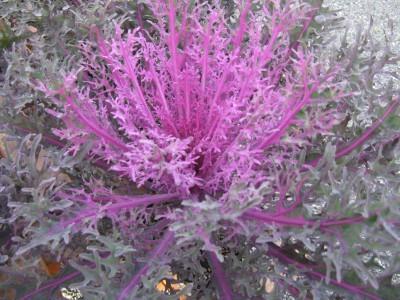 Col ornamental Coral Queen. Fuente: vwhomeandgarden.com