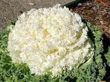 Col ornamental Nagoya white. Fuente: http://davesgarden.com