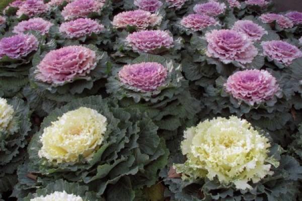 Aspecto de las coles ornamentales. Fuente: www.wikipedia.com