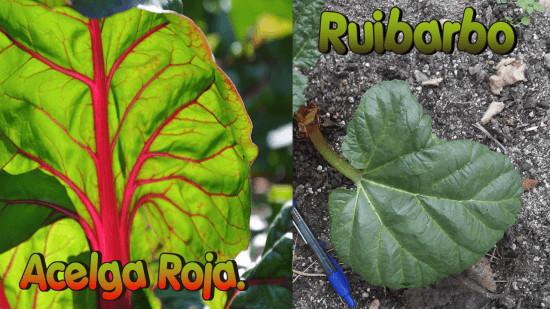 Para distinguir la acelga roja del ruibarbo fijaros en los nervios foliares.