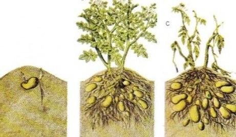 Aquí vemos las distintas fases de desarrollo del cultivo de patatas. Fuente: sociedadycultura.com