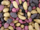 Cómo cultivar Patatas (Papas) en el huerto o casa: Guía completa