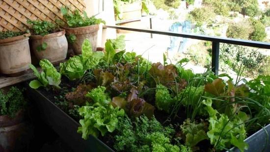 Aquí vemos una mesa de cultivo repleta de lechugas, zanahorias y cebollas