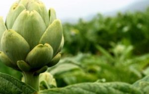 Cómo cultivar Alcachofas paso a paso: siembra, cuidados y cosecha
