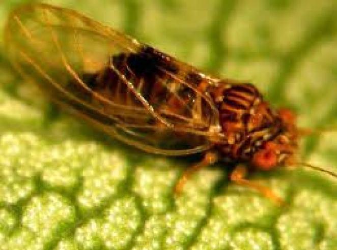 Psila adulta, como véis son muy distintas pero es más fácil de reconocer el estado juvenil porque no se parece a otros insectos. Fuente: www.agraria.org