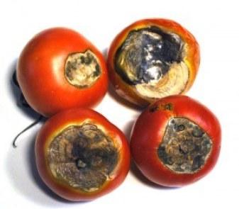 Podredumbre apical en tomate. Fuente: www.agrorganics.com