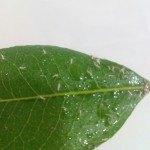 Bichitos en las hojas de las plantas. ¿Qué son y cómo eliminarlos?