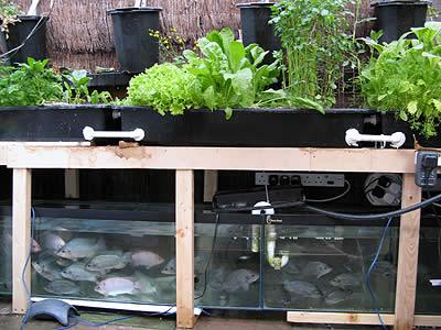 Sistema de acuaponía (Fuente: cherylmikel.com)