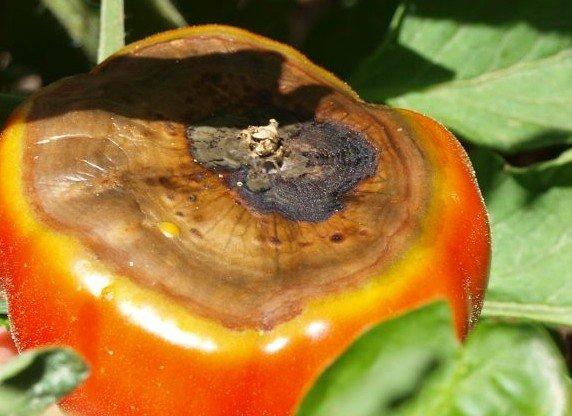 plagas y enfermedades del pimiento: podredumbre