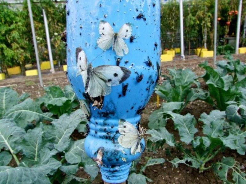 trampa para insectos comunes del huerto