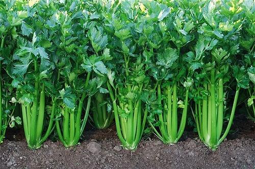 cómo cultivar apio en el huerto y en macetas