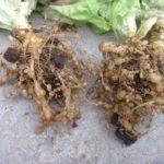 Nematodos: Qué Son y qué Enfermedades Causan en el Huerto