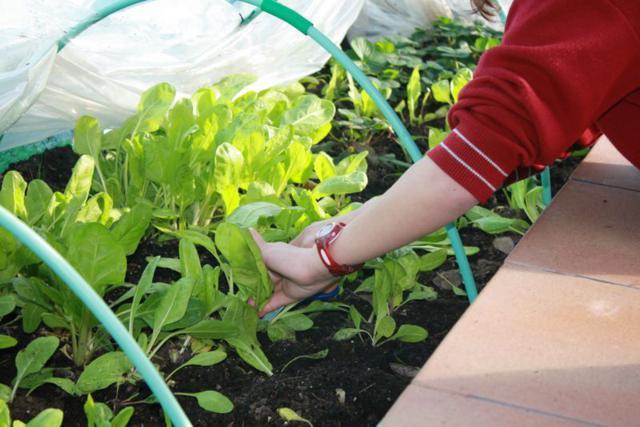 Cultivo en el huerto del Colegio Obispo Perelló de Ciudad Lineal (Fuente: www.obispoperello.es)