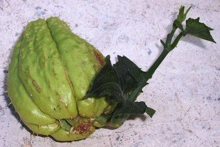 Aquí vemos la yema apical que se desarrolla a los días. En este momento el chayote se puede plantar.