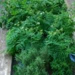 Cultivar hierbas aromáticas para cocinar: Éxito seguro