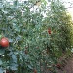 Tomates Ecológicos: variedades y trucos para cultivarlos
