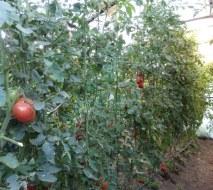 Tomates Ecológicos: variedades y consejos para cultivarlos