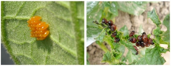 Escarabajo de la patata en hojas
