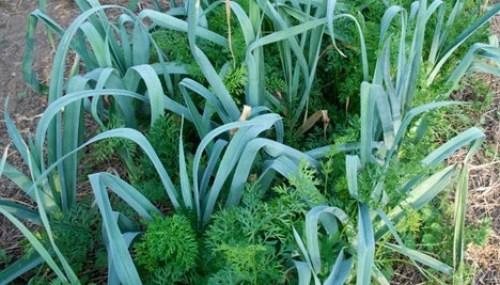 Asociaciones de cultivos para aumentar la cosecha del huerto