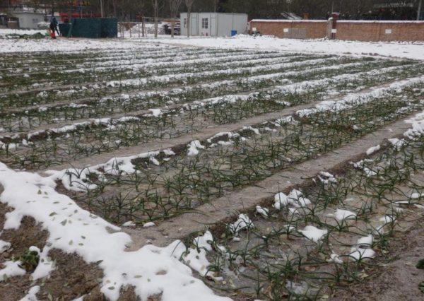 el ajo, un cultivo de invierno