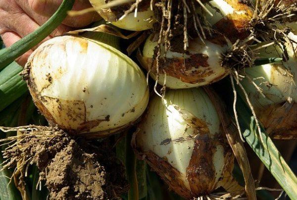 Cultivar cebolla en casa