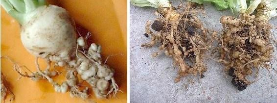 plagas dañinas: Raíces atacadas por Nematodos