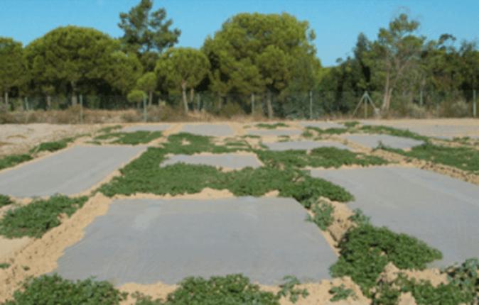 La solarización, una técnica que emplea una cubierta de plástico para desinfectar el suelo