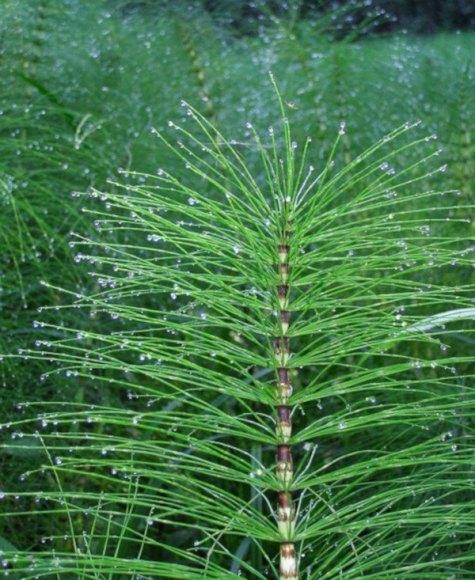 Plantas beneficiosas contra hongos del huerto
