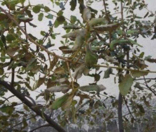 Encina con hojas enfermas