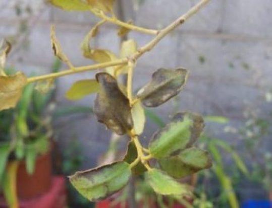 Encina enferma, síntomas en las hojas.