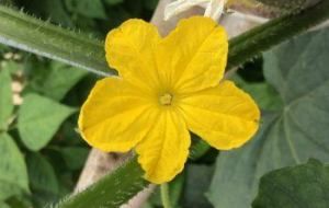 Cómo Cultivar Pepino en el Huerto: Todo lo que debes saber