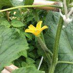 Cultivo del pepino: Plagas y enfermedades