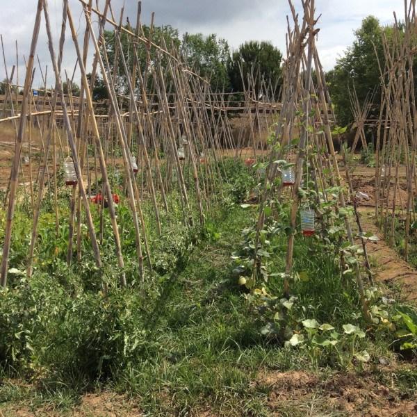 Tutorado de plantas del huerto