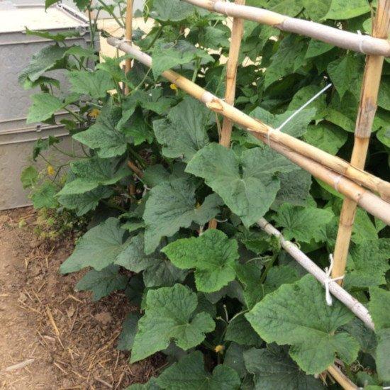 Pepino cultivado en espaldera