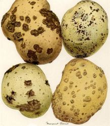 Plagas y enfermedades de la patata: Guía completa con fotos
