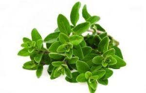 Albahaca en macetas: cuidados de la albahaca, riego y cosecha