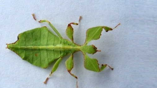 Insecto hoja.