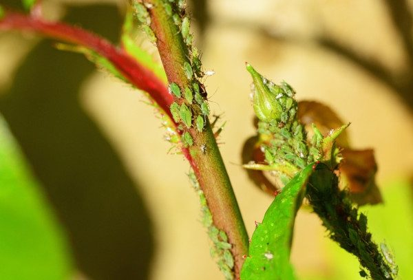 pulgones verdes