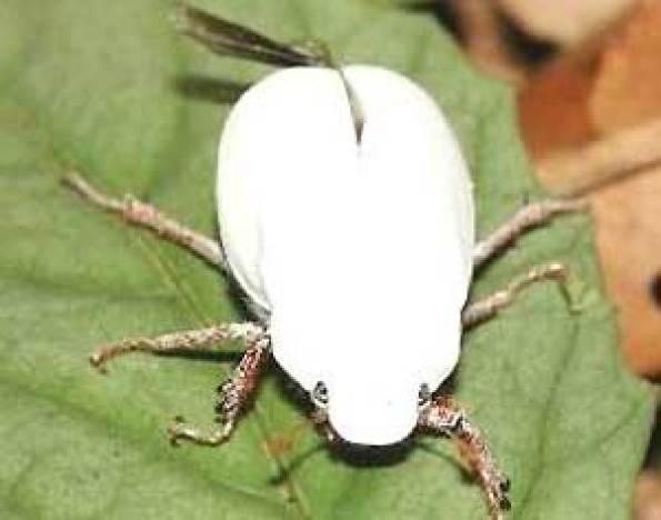Escarabajo blanco