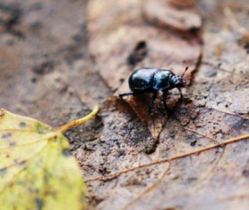 Escarabajo en la tierra