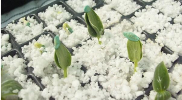 sustratos en hidroponía: perlita