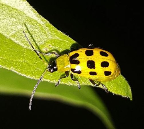 Escarabajo del pepino