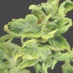 Virus en las plantas hortícolas: Cuáles son y cómo prevenirlos.