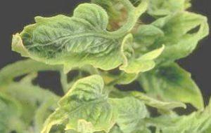 Virus en las plantas: ¿Cómo eliminar los virus de las plantas?