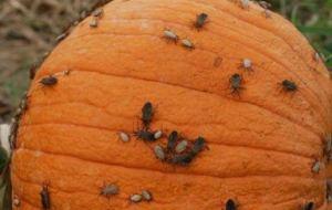 La calabaza: Plagas y enfermedades comunes en el huerto