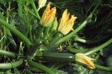 Cómo podar una planta de calabacín paso a paso: Guía completa