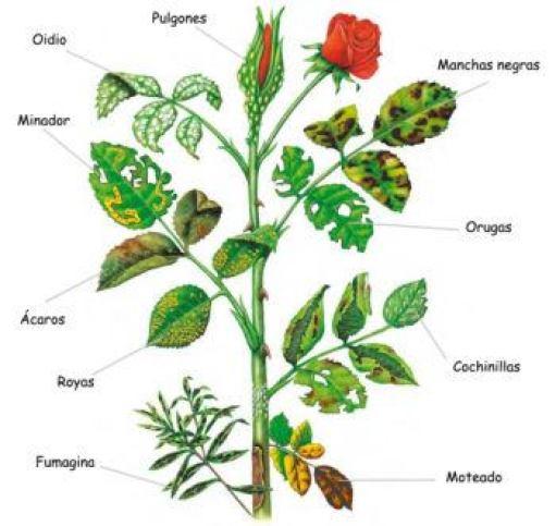 Resumen de plagas y enfermedades en los rosales.