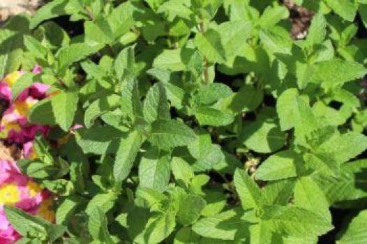 Planta de hierbabuena