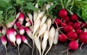 Cómo cultivar rábano en el huerto: Guía completa