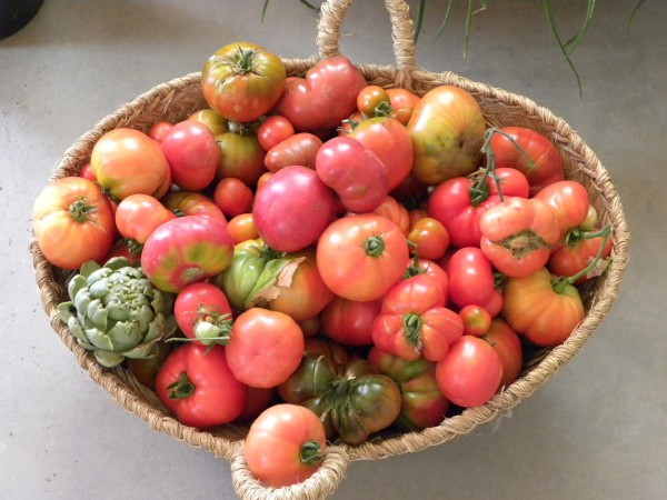 Cosecha de tomates del huerto